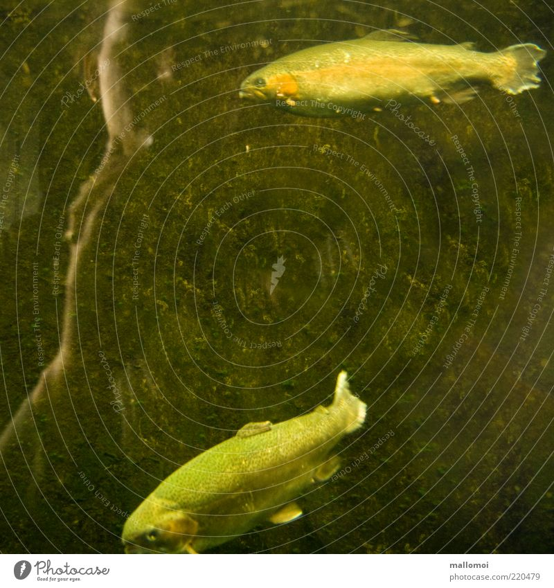 Fische Frau Erwachsene Tier Wasser Aquarium 2 Verschwiegenheit Tierliebe Gelassenheit geduldig ruhig Forelle beobachten Hand Unterwasseraufnahme braun