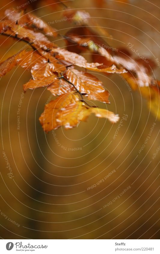 Herbst braun und regennass Herbstbild goldener Herbst Herbstromantik Herbstimpression Buchenzweig Buchenblätter Herbstfarben melancholisch Novemberstimmung