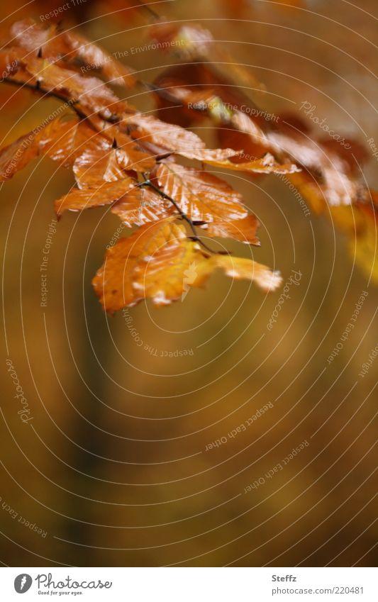 Herbst regennass Natur Pflanze Regen Blatt Buchenblatt Herbstlaub Zweig schön braun gold Jahreszeiten Regenstimmung Novemberstimmung Farbe Herbstwetter