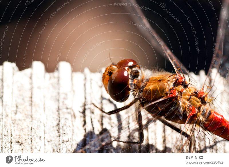 Libelle beim Sonnen Natur rot Sommer Tier Holz braun Umwelt sitzen ästhetisch authentisch Tiergesicht Flügel Insekt Wildtier niedlich Facettenauge