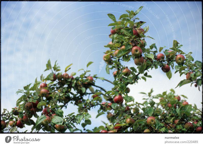 Apfelbaum Frucht Bioprodukte Natur Schönes Wetter Baum Nutzpflanze lecker süß ästhetisch rein Qualität Farbfoto Morgen ökologisch biologisch Textfreiraum oben