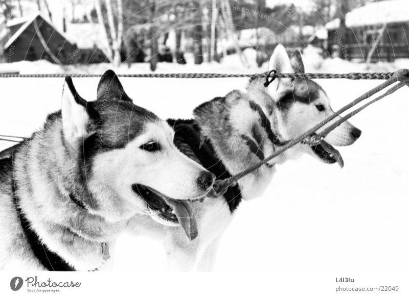 Huskies Husky Hund Rennede Hunde Renngeschier
