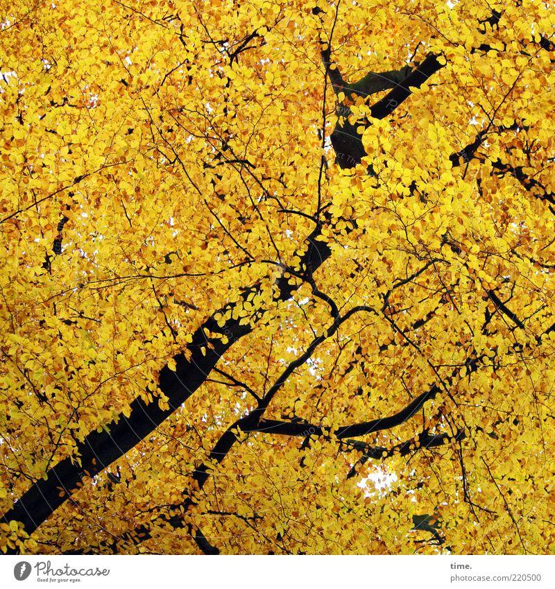Eichhörnchenparadies Natur schön Baum Blatt Wald Umwelt gelb Herbst außergewöhnlich gold leuchten Ast Textfreiraum Baumkrone Irritation aufwärts