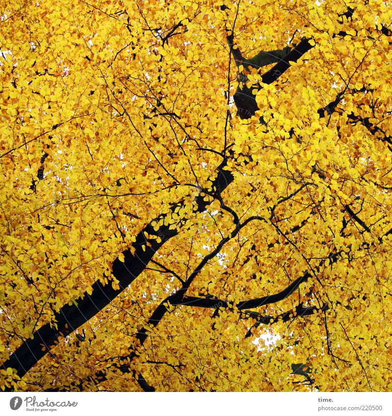 Eichhörnchenparadies schön Umwelt Natur Herbst Baum Blatt Wald leuchten außergewöhnlich gelb gold Irritation Ast durcheinander Dynamik diagonal aufwärts
