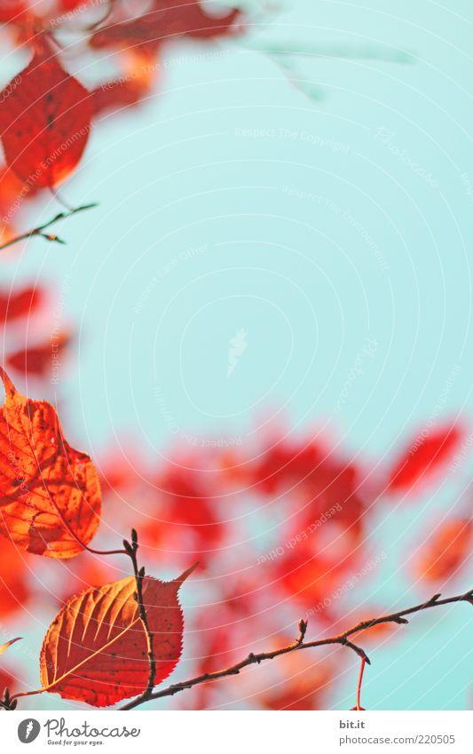 flammender Herbst...III Natur Himmel blau Pflanze rot Blatt Herbst Wandel & Veränderung Klima Vergänglichkeit leuchten Schönes Wetter Blauer Himmel Blattadern Herbstlaub Grünpflanze
