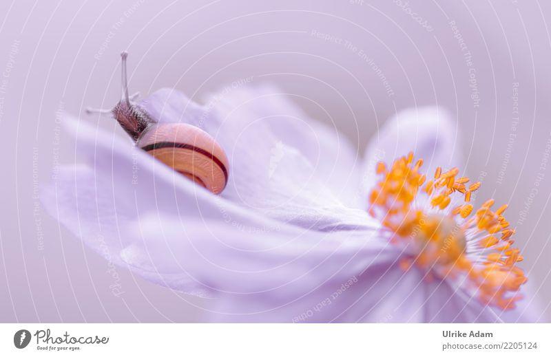 Schnecke auf Anemonen Blüte Natur Pflanze Tier Sommer Herbst Blume Blütenstempel Garten Park Wiese Feld Weichtier Schneckenhaus Fühler 1 krabbeln liegen