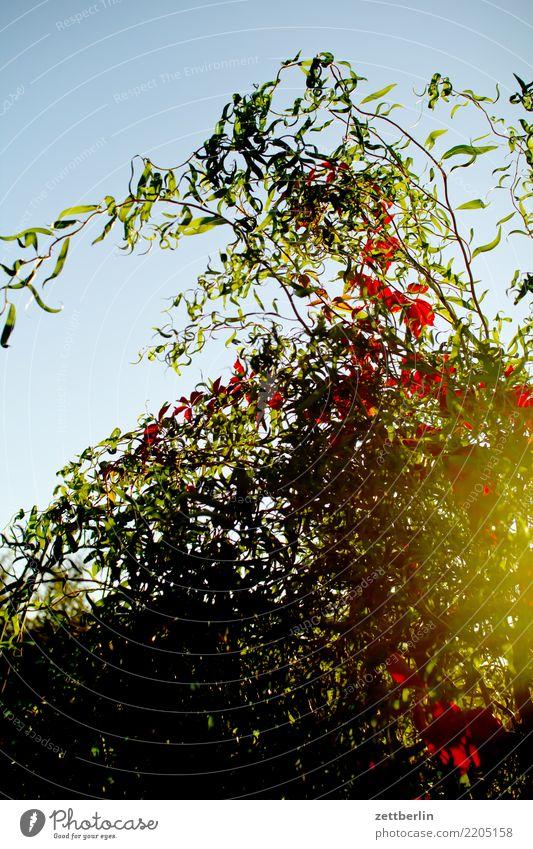 The Wine In The Willows Ast Baum Blume Blühend Blüte Garten Himmel Himmel (Jenseits) Schrebergarten Kleingartenkolonie Menschenleer Natur Pflanze ruhig Sommer