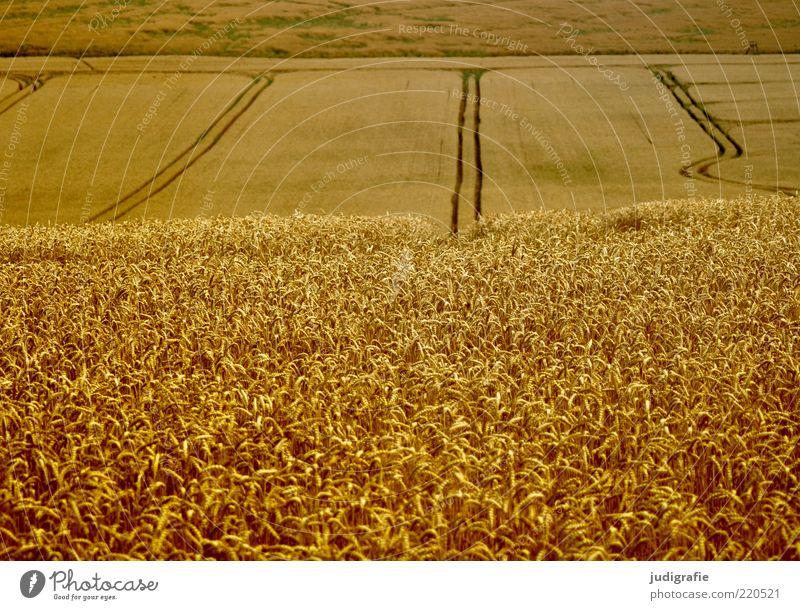 Acker Umwelt Natur Landschaft Pflanze Sommer Nutzpflanze Feld Wachstum natürlich gold Getreide Getreidefeld Spuren Farbfoto Außenaufnahme Menschenleer Tag