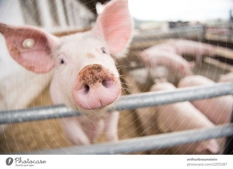 Schwein streckt Rüssel Richtung Kamera Gesunde Ernährung Tier Lebensmittel Metall Tiergruppe Neugier Landwirtschaft Bauernhof Zaun Fleisch Forstwirtschaft Herde