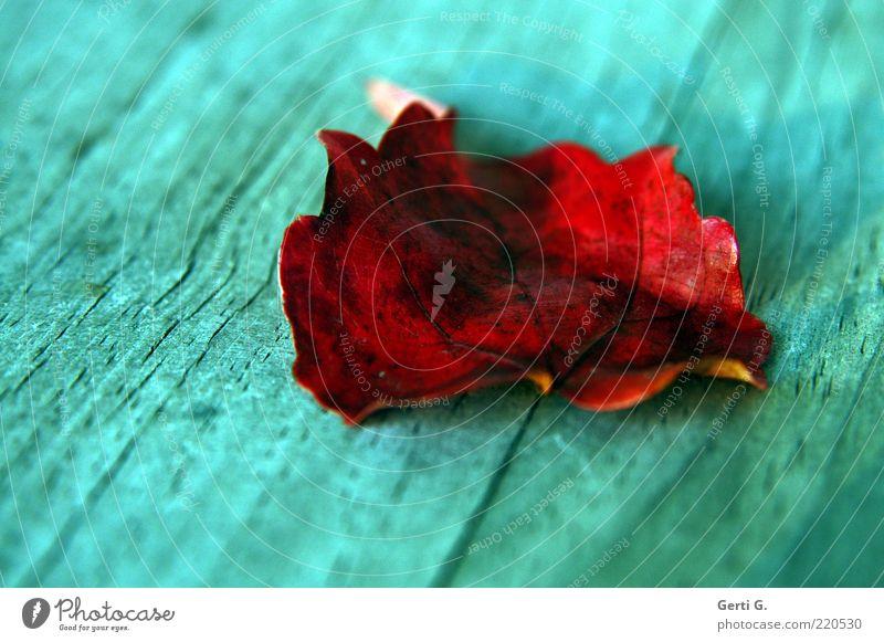 holzi.G rot Blatt Herbst Holz liegen Vergänglichkeit türkis Herbstlaub Maserung Blattadern herbstlich Herbstfärbung rotbraun