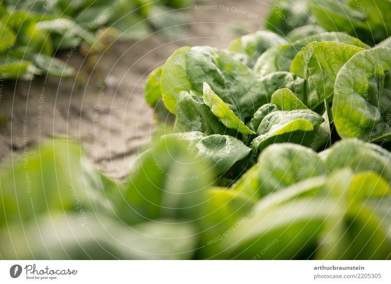 Blattspinat frisch vom Feld reif für die Ernte Lebensmittel Gemüse Salat Salatbeilage Spinat Spinatblatt Ernährung Bioprodukte Vegetarische Ernährung Fasten