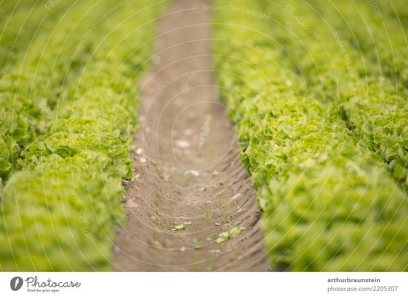 Gemüsefeld mit frischem Blattsalat bereit zur Ernte Lebensmittel Salat Salatbeilage Ernährung Bioprodukte Vegetarische Ernährung Gesunde Ernährung