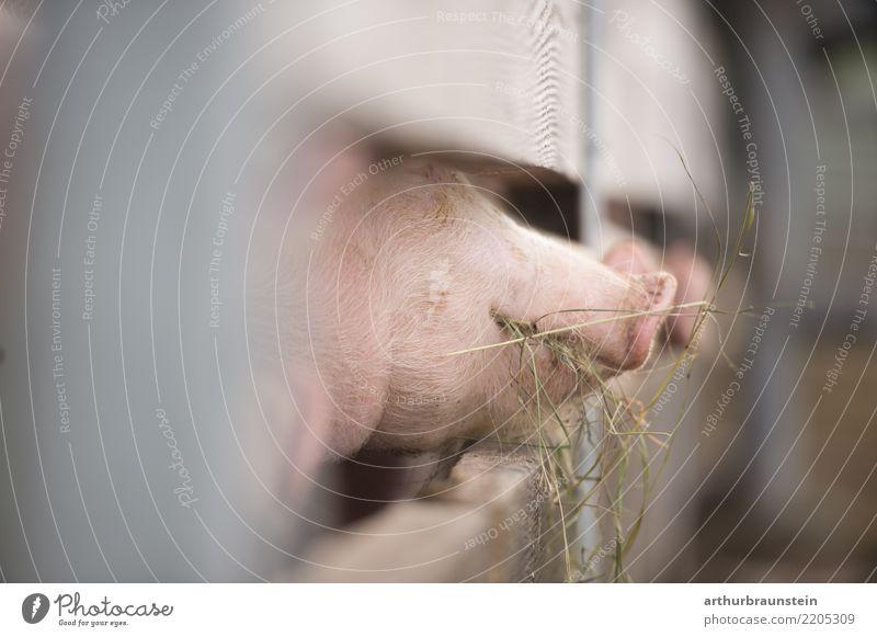 Glückliche Schweine am Bauernhof beim fressen Natur Gesunde Ernährung Tier Essen natürlich Gras Lebensmittel Zufriedenheit Feld authentisch Schönes Wetter