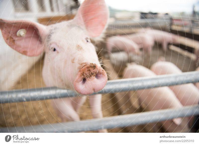 Schwein im Schweinestall am Bauernhof im Freien Ferien & Urlaub & Reisen Gesunde Ernährung Tier Glück Lebensmittel Freiheit Tiergruppe beobachten Neugier