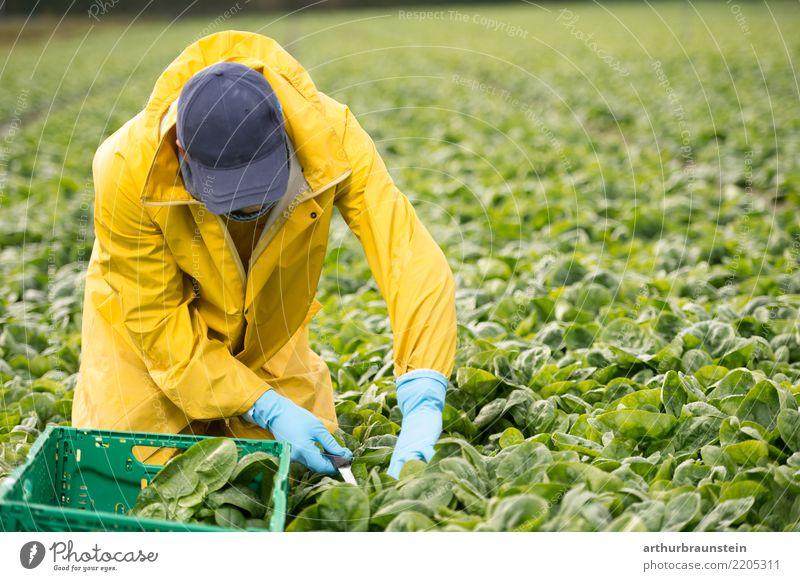Junger Landwirt arbeitet auch seinem Gemüsefeld Lebensmittel Spinat Spinatblatt Ernährung Bioprodukte Vegetarische Ernährung Gesunde Ernährung Azubi