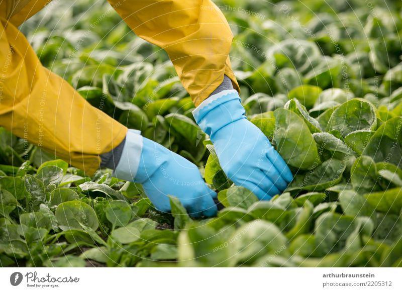 Gemüseernte in der Landwirtschaft mit den Händen am Feld Mensch Natur Pflanze Sommer Gesunde Ernährung Blatt Gesundheit Umwelt Lebensmittel