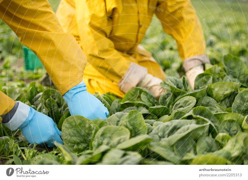 Gemüseernte mit den Händen am Feld Lebensmittel Salat Salatbeilage Spinat Spinatblatt Ernährung Bioprodukte Vegetarische Ernährung kaufen Gesunde Ernährung