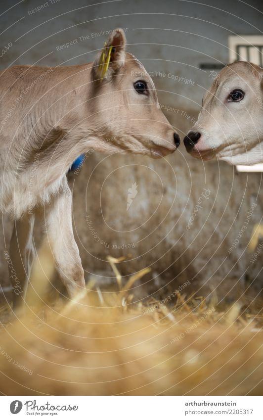 Junge Kälber küssen sich im Stall Tier Tierjunges Umwelt Liebe Lebensmittel Ernährung Tierpaar Neugier Landwirtschaft Zusammenhalt Bauernhof Küssen Wirtschaft