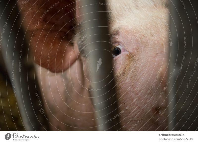 Unglückliches Schwein eingesperrt im Mastbetrieb Lebensmittel Fleisch Wurstwaren Schweinefleisch Schweinefilet Schweinekopf Schweinebraten Schweineohr Ernährung