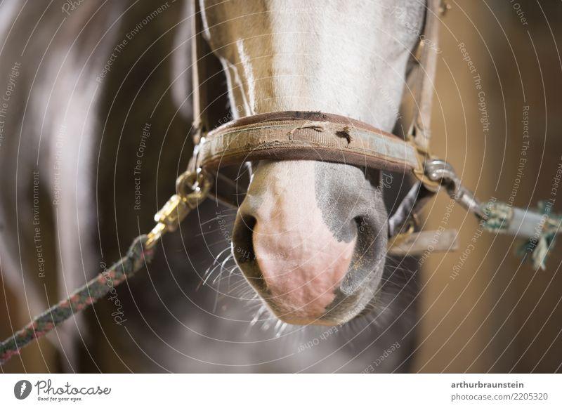 Pferd im Stall mit Geschirr Lebensmittel Fleisch Pferdekopf Freizeit & Hobby Reiten Reitsport Tierzucht Landwirtschaft Forstwirtschaft Nutztier Pferdestall 1