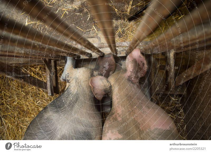 Schweine fressen bei Futtertrog im Stall Tier Lebensmittel Arbeit & Erwerbstätigkeit Metall Tierpaar Ernährung stehen Landwirtschaft Beruf Bauernhof Wirtschaft