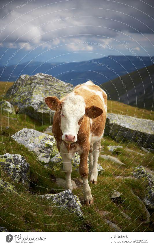 und du? Berge u. Gebirge Umwelt Natur Landschaft Sommer Tier Nutztier Kuh Tiergesicht Fell 1 Tierjunges natürlich Neugier braun weiß Freiheit Kontakt nachhaltig