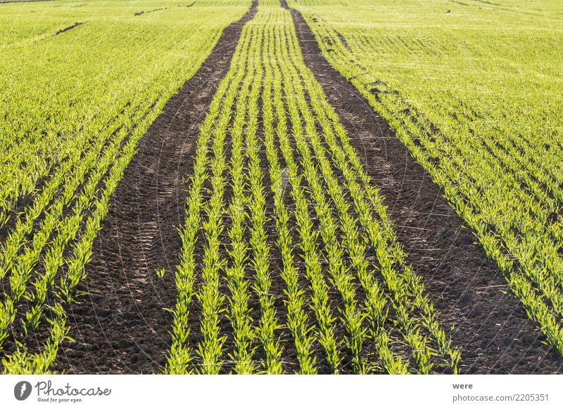 Ein Feld mit jungem Getreideaustrieb als Wintersaat Natur Pflanze Landschaft Lebensmittel Landwirtschaft Ackerbau Umweltschutz Halm Forstwirtschaft Aussaat