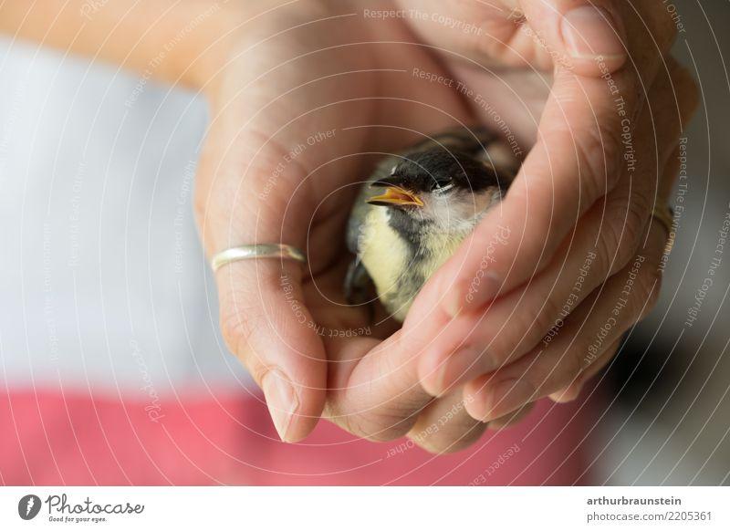 Kohlmeise sitzt in Händen Mensch Natur Jugendliche Junge Frau Hand Tier Erwachsene gelb Gesundheit natürlich feminin Vogel Wildtier sitzen authentisch niedlich