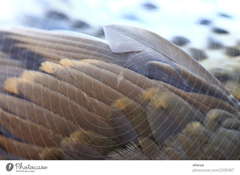abgefedert Wildtier Totes Tier Vogel Flügel Drossel Feder gruselig schön einzigartig kaputt nah braun Gefühle Mitgefühl Schmerz Fernweh Flugangst Zukunftsangst
