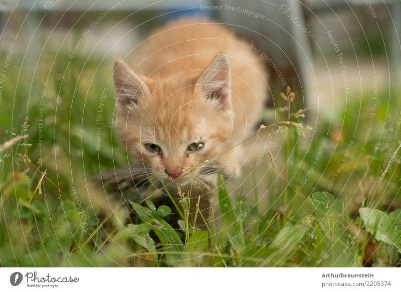 Katzenjunges in der Wiese Garten Umwelt Natur Schönes Wetter Gras Tier Haustier Tiergesicht Fell Tierjunges Tierliebe Tierschutz Katzenkopf Katzenbaby Katzenohr