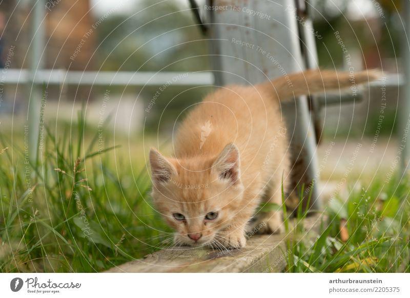 Junges rotes Kätzchen am Bauernhof Gesundheit Tourismus Veterinär Umwelt Natur Sommer Pflanze Gras Grünpflanze Garten Tier Haustier Katze Tiergesicht Tierliebe