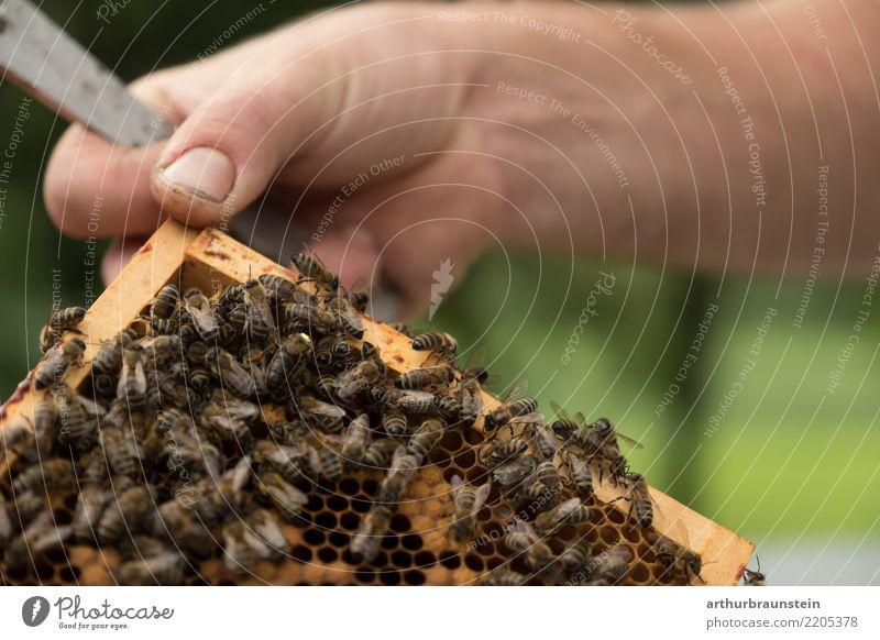 Auf der Suche nach der Bienenkönigin Mensch Natur Sommer Gesunde Ernährung Baum Hand Tier Wiese natürlich Holz Gesundheitswesen Garten Lebensmittel