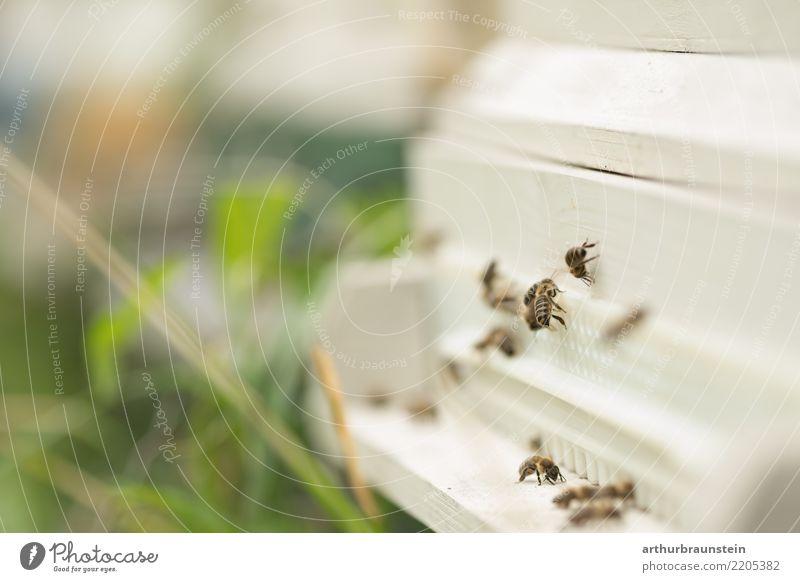 Bienen am Bienenstock in der Wiese Natur Gesunde Ernährung Tier Umwelt Gesundheit natürlich Gesundheitswesen Gras Lebensmittel fliegen Freizeit & Hobby genießen