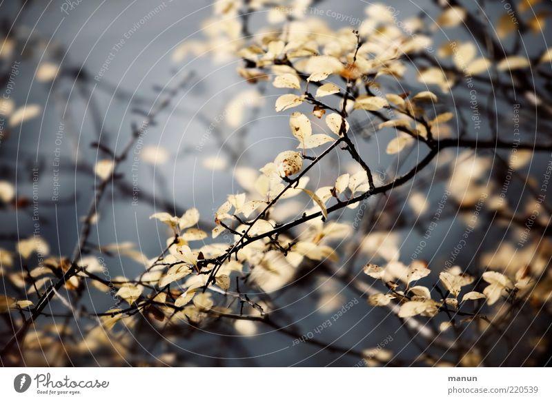November Natur schön Pflanze Blatt Herbst Sträucher authentisch Wandel & Veränderung Vergänglichkeit natürlich vertrocknet Originalität Geäst Herbstlaub