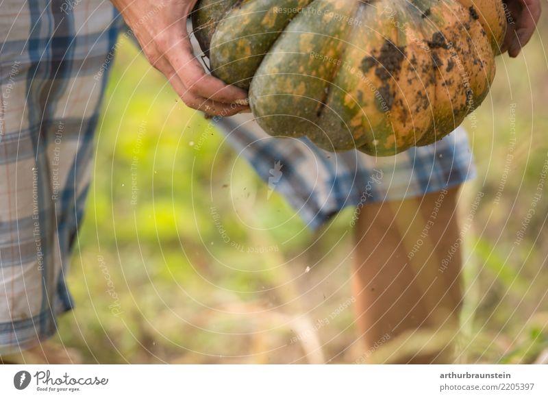 Frisch von Hand geernteter Kürbis Mensch Natur Jugendliche Pflanze Gesunde Ernährung Junger Mann Erwachsene Umwelt Herbst natürlich Lebensmittel