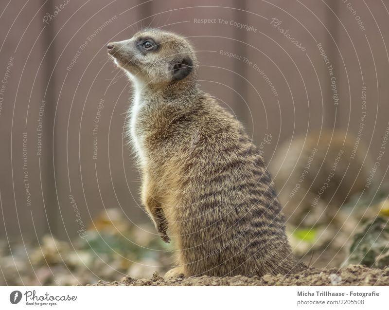 Erdmännchen Porträt Umwelt Natur Tier Sand Sonne Schönes Wetter Pflanze Wildtier Tiergesicht Fell Krallen Pfote Auge Ohr Nase 1 beobachten hören Blick sitzen