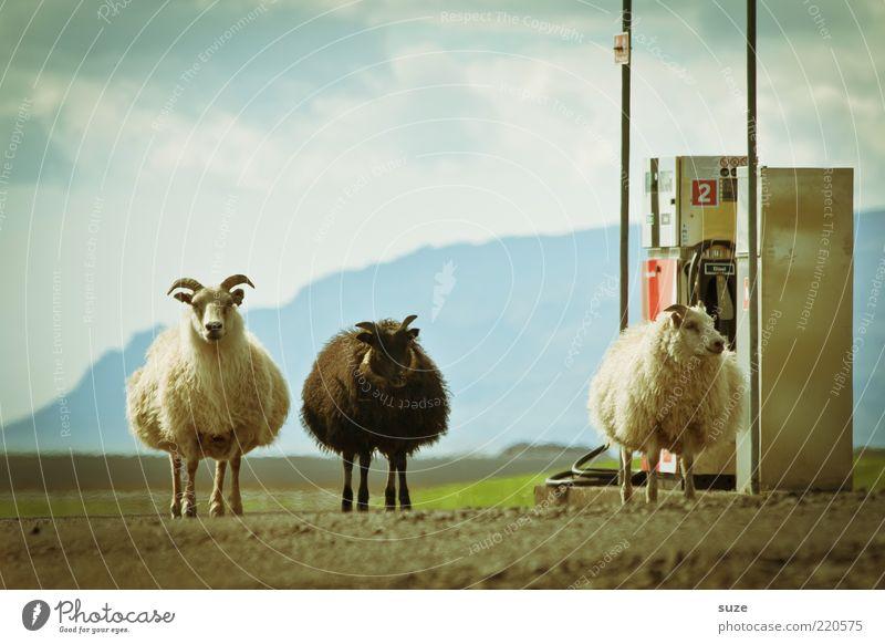 Die 3 von der Tankstelle Umwelt Natur Tier Urelemente Erde Himmel Wolken Schönes Wetter Nutztier Schaf Tiergruppe außergewöhnlich fantastisch klein lustig