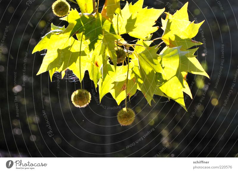 Bommelbaum Natur Pflanze Schönes Wetter Baum hängen leuchten rund grün Baumfrucht Kugel Spinnennetz Platane Sonnenlicht Sonnenstrahlen Blatt Menschenleer klein