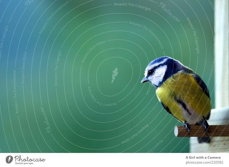 another tit Vogel Meisen 1 Tier Blick natürlich blau mehrfarbig gelb grün Neugier Futterhäuschen Stab Schnabel Ganzkörperaufnahme sitzen Unschärfe Farbfoto