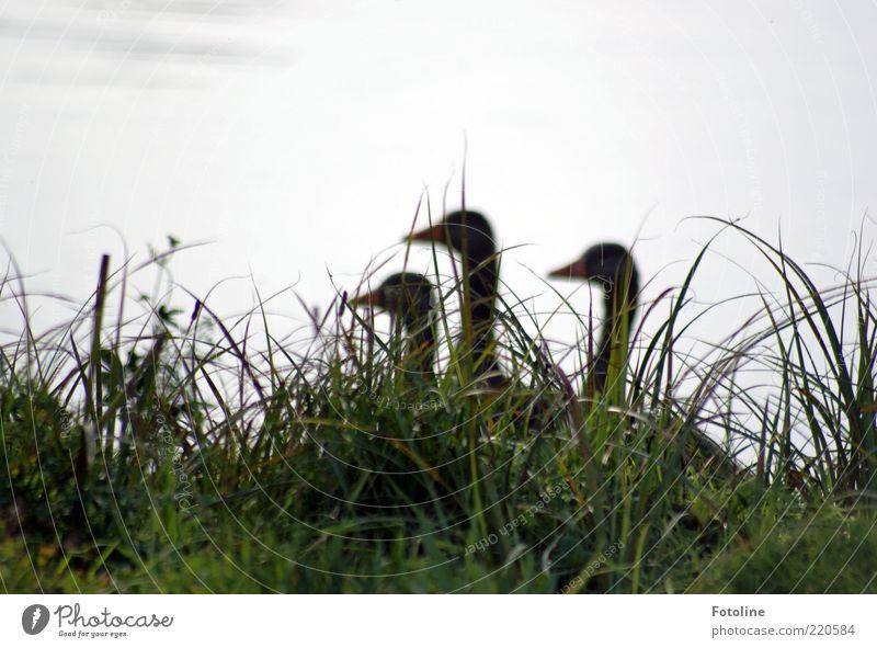 Die 3 Damen vo(r)m Grill ;-) Umwelt Natur Pflanze Tier Urelemente Wasser Seeufer Teich Wildtier Vogel natürlich Gans Gras Farbfoto Gedeckte Farben Außenaufnahme