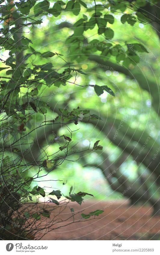 Gespensterwald Umwelt Natur Landschaft Pflanze Herbst Baum Blatt Wildpflanze Buche Süntelbuche Buchenwald Baumstamm Zweig Waldboden stehen Wachstum authentisch