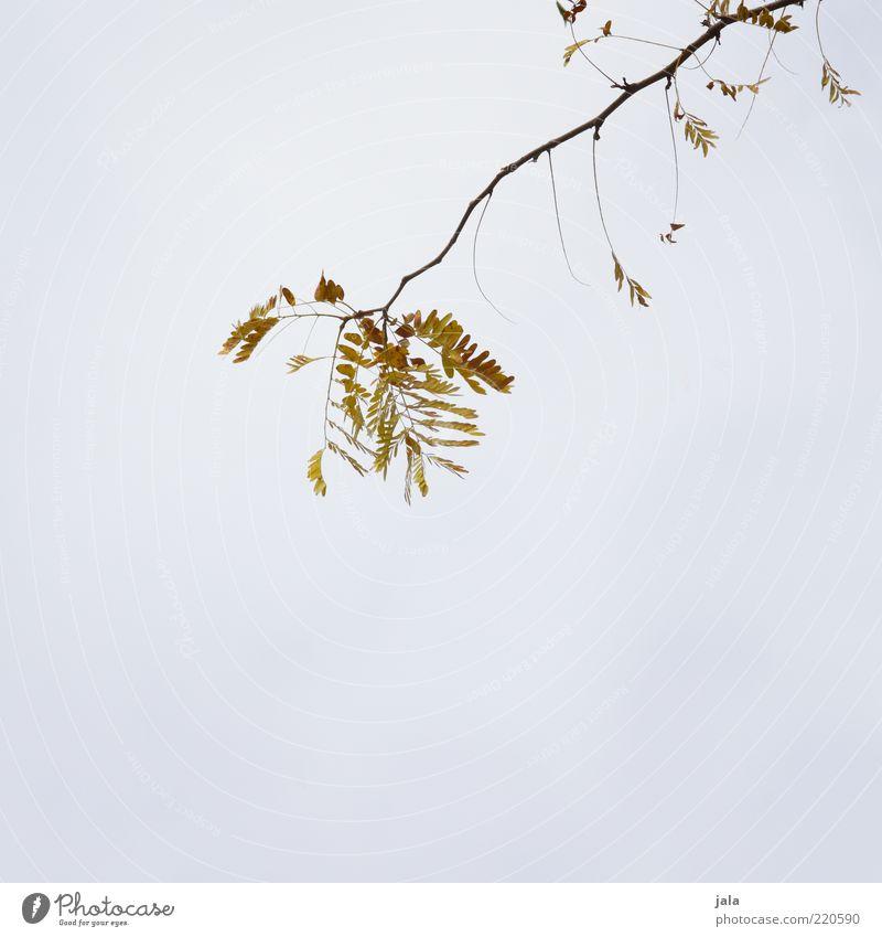 zweig Natur Himmel Herbst Pflanze Ast Zweig Blatt gelb grau grün Farbfoto Außenaufnahme Menschenleer Textfreiraum links Textfreiraum rechts Textfreiraum unten