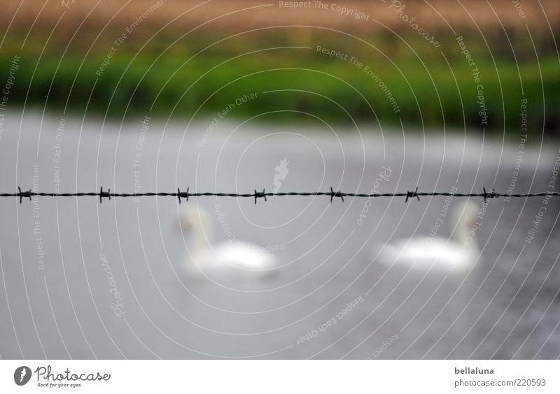 Mädchenfoto meets Jungsfoto! Natur schön Pflanze Tier Vogel Tierpaar Schwimmen & Baden Wildtier Zaun Schönes Wetter Teich Schwan Abend Stacheldraht