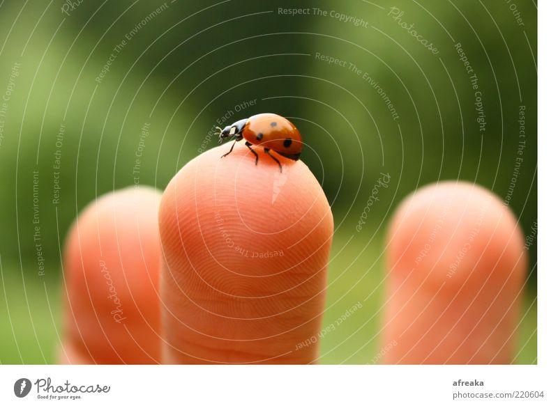 Ungeniert. Natur Umwelt Glück Haut Finger berühren Kontakt entdecken Käfer Marienkäfer Tierliebe Naturliebe Glücksbringer behutsam Fingerkuppe Vor hellem Hintergrund