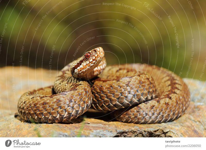 Europäische gekreuzte Viper auf Felsen schön Frau Erwachsene Natur Tier Wildtier Schlange wild braun grau Angst gefährlich Tierwelt Reptil Ottern Natter giftig