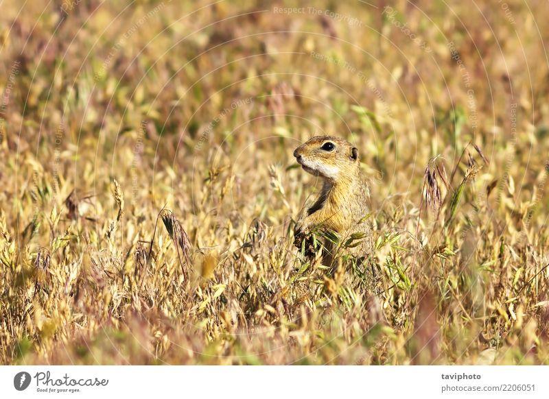Europäischer Ziesel auf dem Gebiet schön Sommer Umwelt Natur Tier Gras Wiese Pelzmantel füttern sitzen stehen klein lustig natürlich niedlich wild braun grün