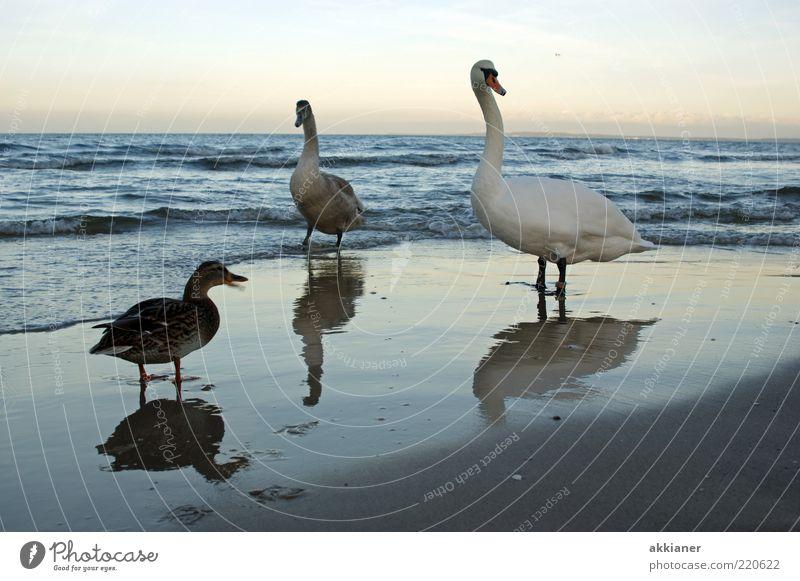 He... Natur Himmel Strand Wolken Tier Ferne hell Vogel Küste Wellen Umwelt nass Tiergruppe Wildtier Ostsee Ente