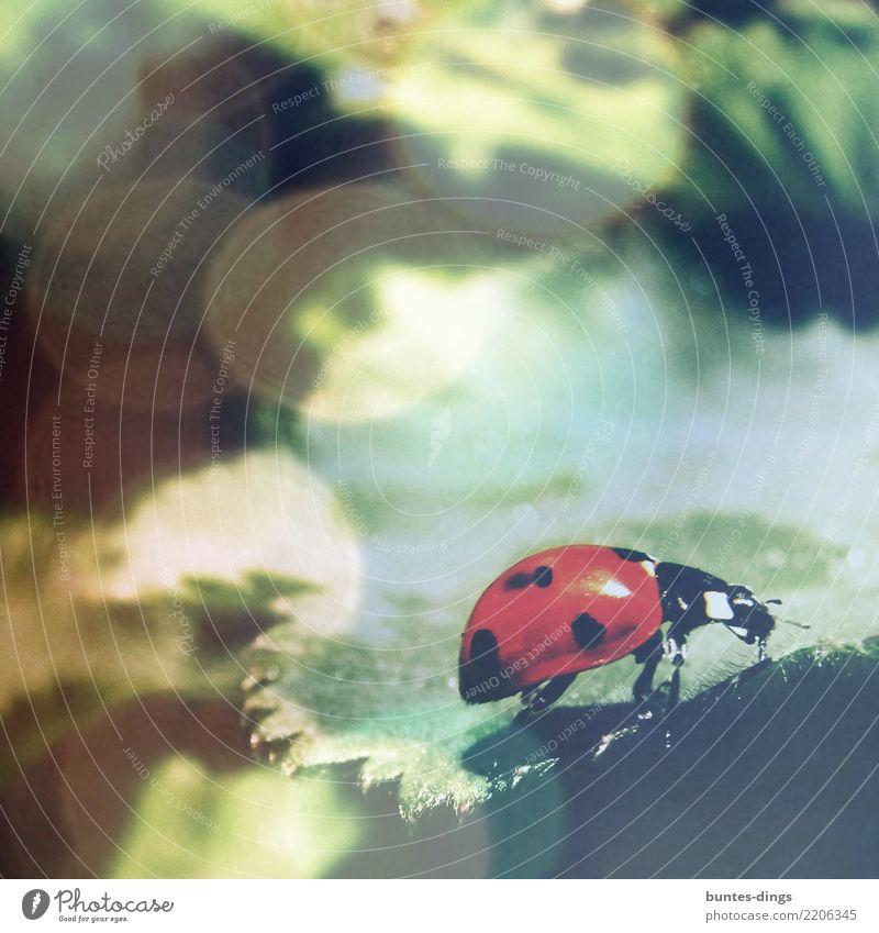 Mariechenkäfer Glück Umwelt Natur Pflanze Blatt Garten Tier Käfer Marienkäfer Insekt 1 krabbeln Freundlichkeit Fröhlichkeit schön klein niedlich Stimmung Freude
