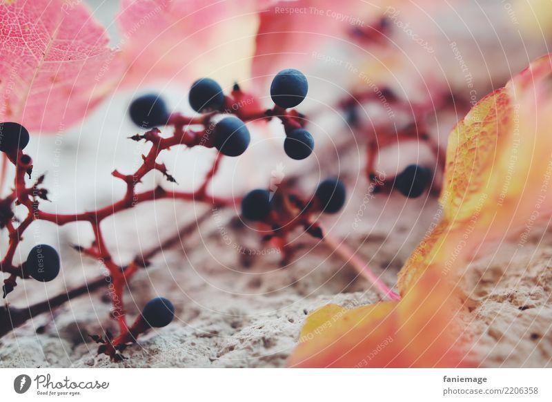 Weinranke Natur ästhetisch Weinranken Weintrauben Herbst Blatt orange rot blau Frucht Mauer Strukturen & Formen Ranke Weinblatt Wand herbstlich Wärme Unschärfe