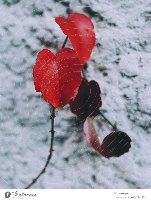 weinrot Umwelt Natur Garten Park ästhetisch Weinblatt Ranke Wand Putz Blatt diagonal Herbst Pflanze herbstlich Deutsch Farbfoto Außenaufnahme Nahaufnahme